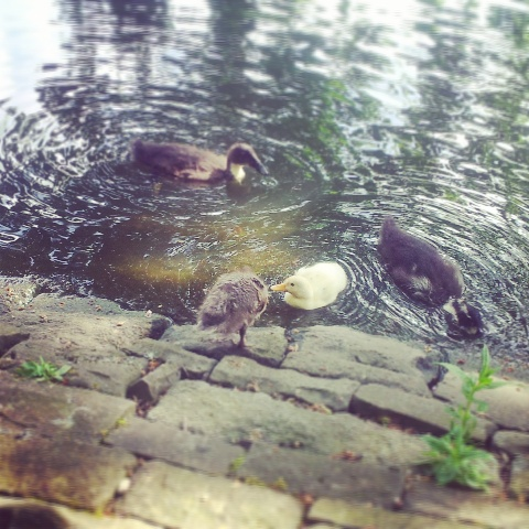 These are some of the ducklings, aren't they cute?