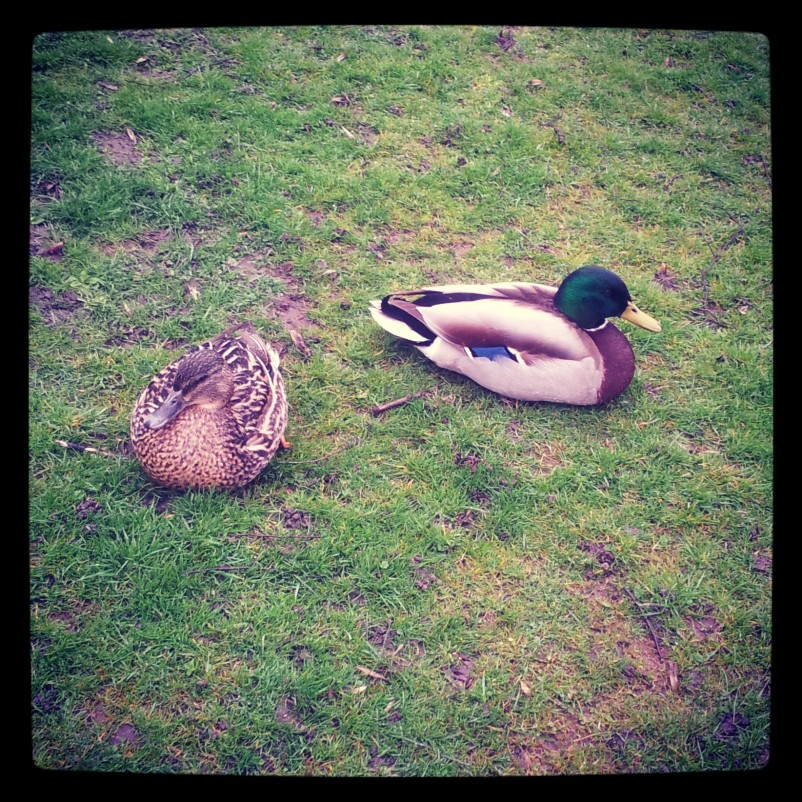 These are on of the pairs of ducks.
