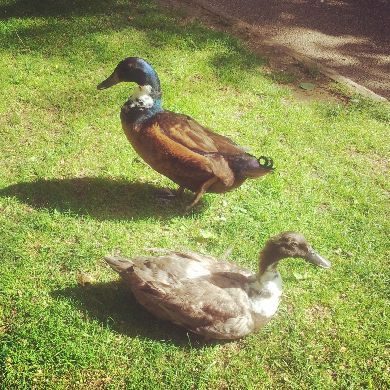 This is another pair of ducks.